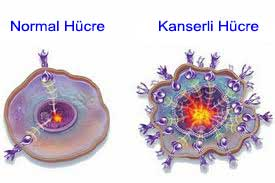 Normal ve Kanserli Hücre